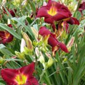 Photo courtesy of Ashwood Garden Daylilies. Used with p