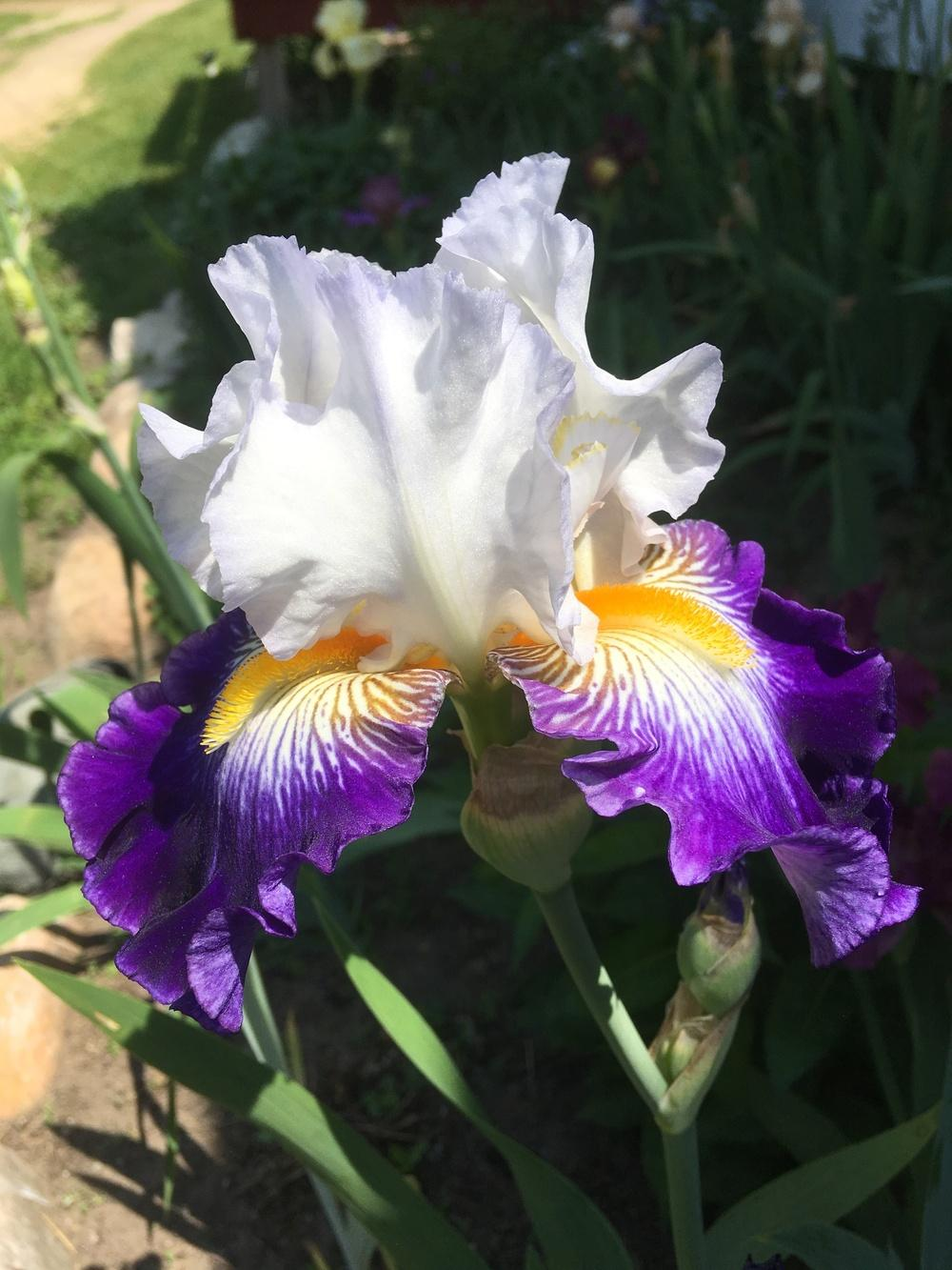 Photo of Tall Bearded Iris (Iris 'Cleared for Takeoff') uploaded by Lbsmitty