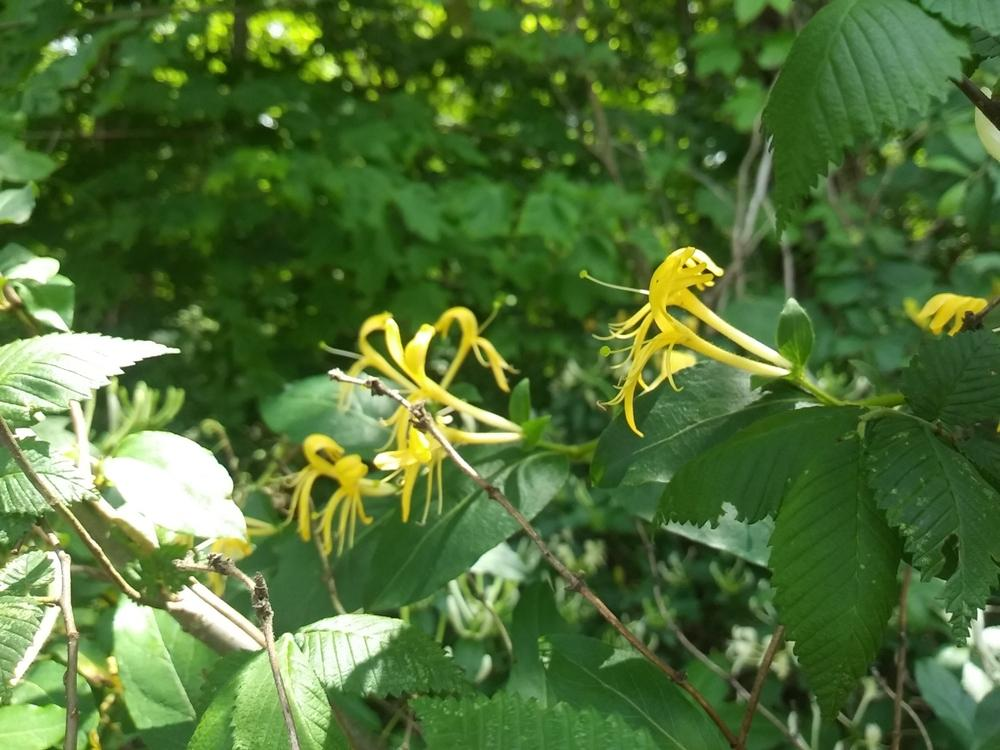 Photo of Japanese Honeysuckle (Lonicera japonica) uploaded by m33jones2