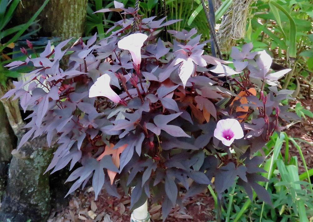 Photo of Ornamental Sweet Potato (Ipomoea batatas 'Blackie') uploaded by plantladylin