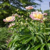 "Location: Clinton, Michigan 49236Date: 2018-05-29""Paeonia 'Show Girl', 2018 photo, (2-AN-PK) Hybrid Peony, (Hollin"