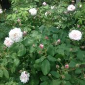Location: Wyck Historic Rose Garden, Philadelphia (Germantown), Pennsylvania USADate: 2018-05-26Blush Noisette is the origin of the Noisette class of roses.