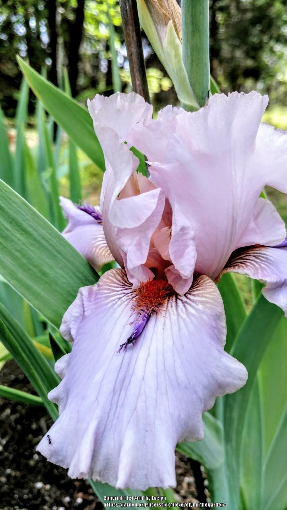 Photo of Tall Bearded Iris (Iris 'Awesome Alex') uploaded by evelyninthegarden