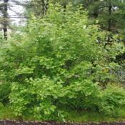 Location: Jenkins Arboretum in Berwyn, PennsylvaniaDate: 2018-05-27full-grown shrub in late May