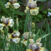 Location: My garden, Watkins Glen, NYDate: May 2018I love this iris. It has been a good increaser for me
