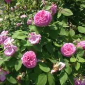 Location: Wyck Historic Rose Garden, Philadelphia (Germantown), Pennsylvania USADate: 2018-05-26