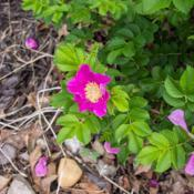 "Location: Clinton, Michigan 49236Date: 2018-05-30""Rosa rugosa, 2018 photo, Rugosa Rose, , USDA Hardiness"