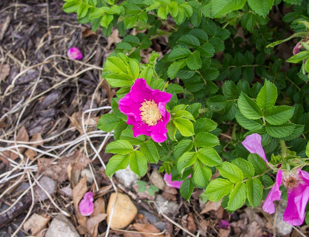 Photo of Beach Rose (Rosa rugosa) uploaded by frankrichards16