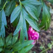 "Location: Clinton, Michigan 49236Date: 2018-05-31""Paeonia 'Coral Charm', 2018 photo, (2-SD-PK) Hybrid Peony, (Wiss"