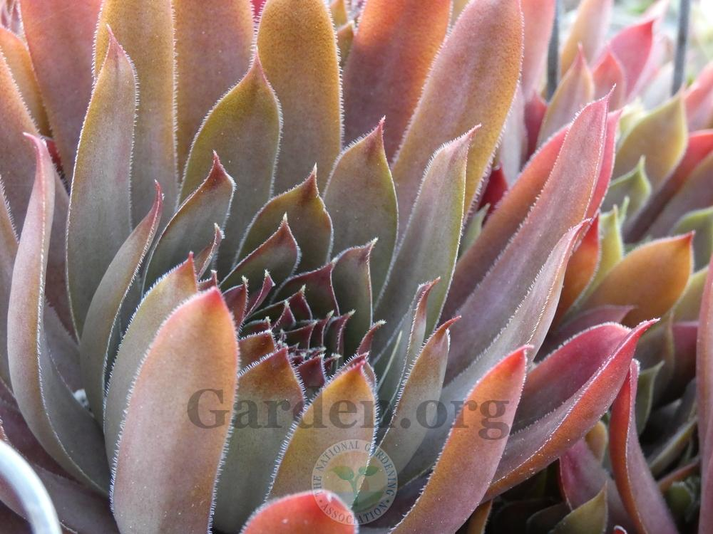 Photo of Hen and Chicks (Sempervivum 'Saga') uploaded by springcolor
