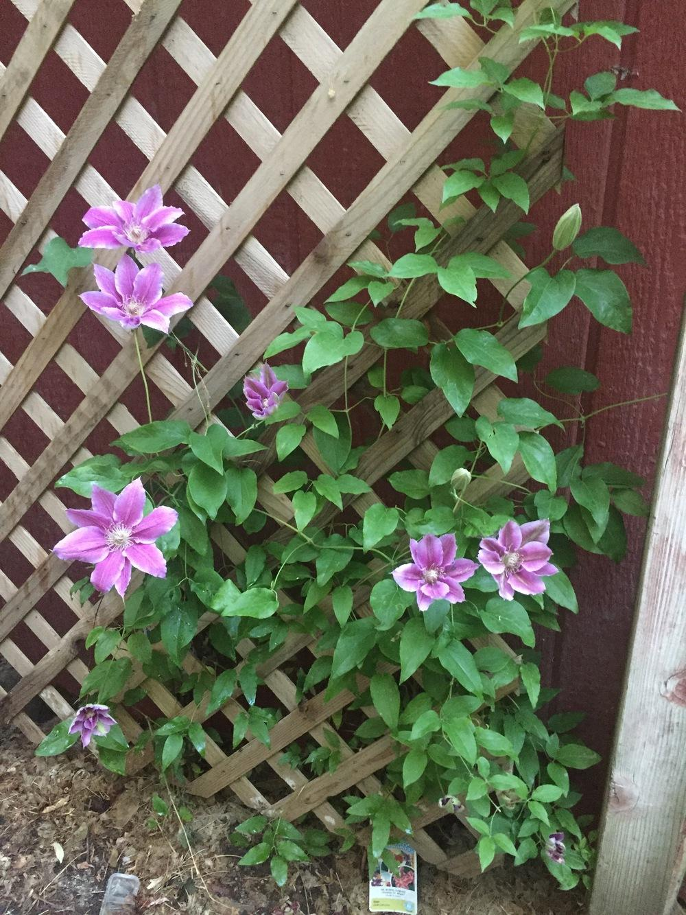 Photo of Clematis 'Dr. Ruppel' uploaded by SpringGreenThumb