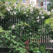 Location: Wyck Historic Rose Garden, Philadelphia (Germantown), Pennsylvania USA Date: 2018-06-02