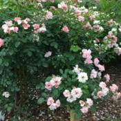 Location: Dean Bond Rose Garden, Scott Arboretum, Swarthmore, Pennsylvania USADate: 2018-06-02