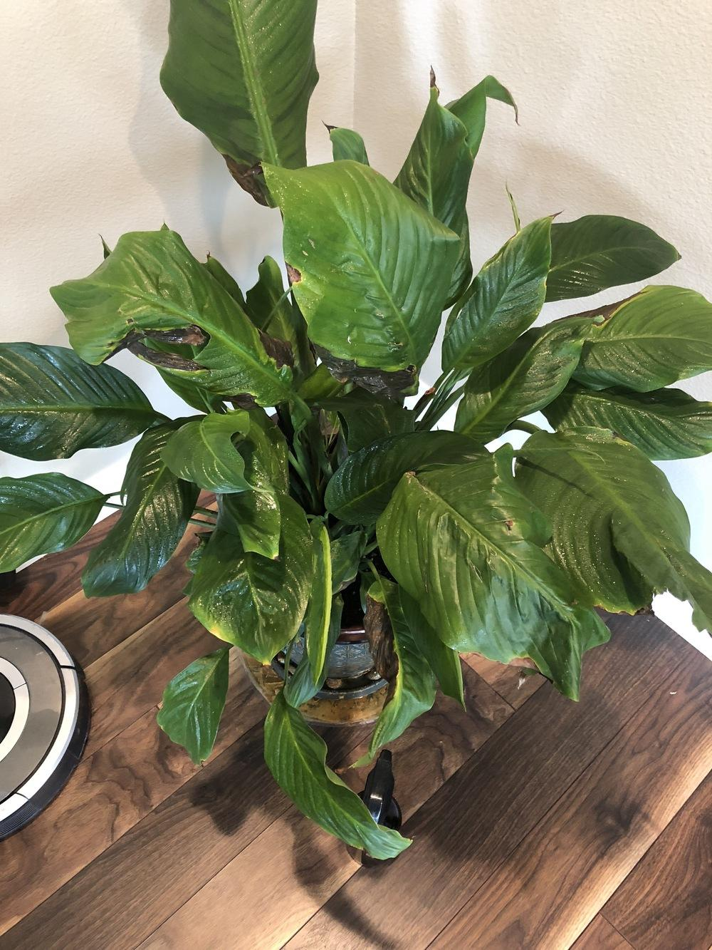 Ask a question forum please help my peace lily leaves turn brown thumb of 2018 06 04celestialanglzdb1b68 izmirmasajfo