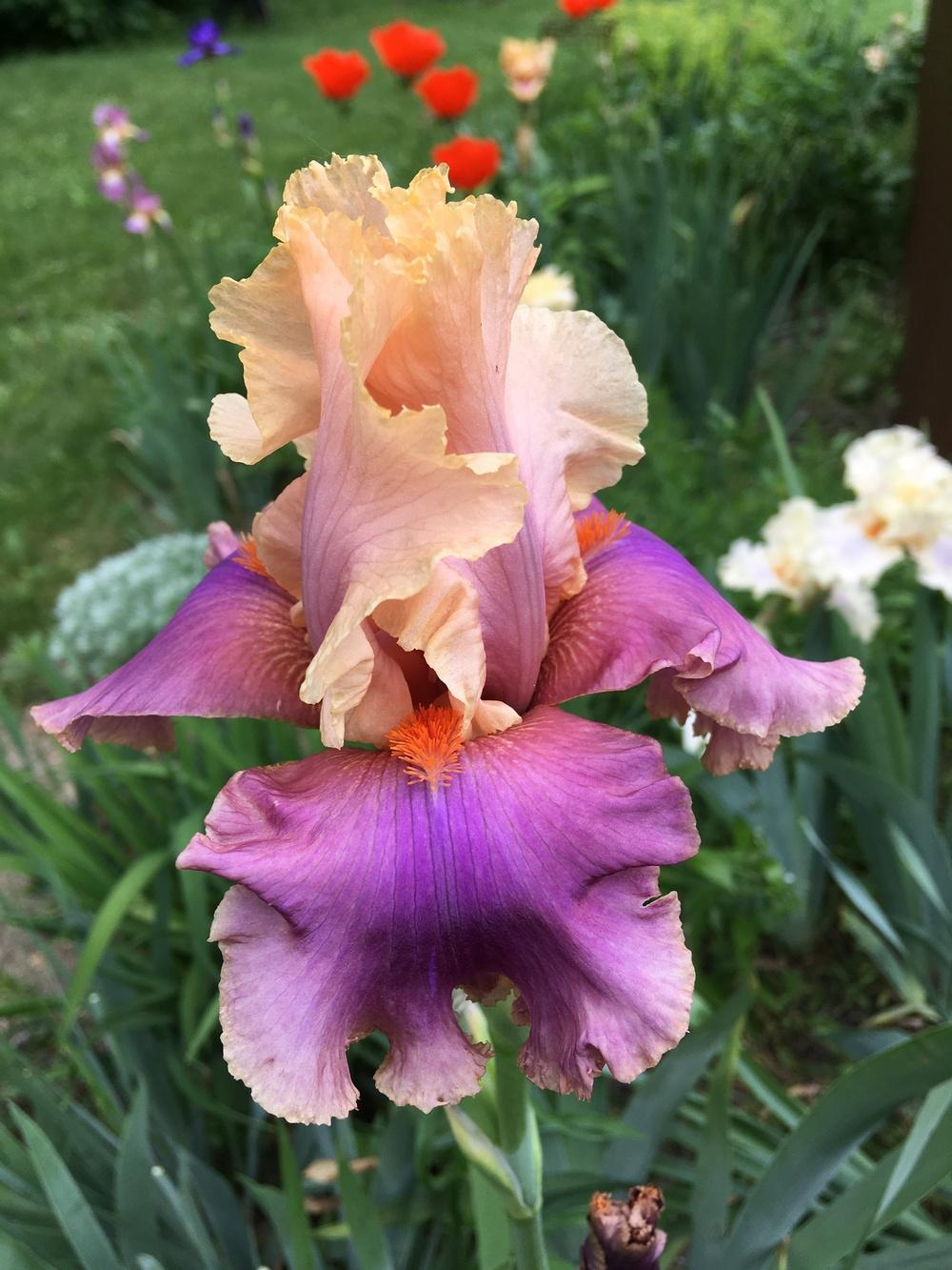 Photo of Tall Bearded Iris (Iris 'Colette Thurillet') uploaded by Lbsmitty