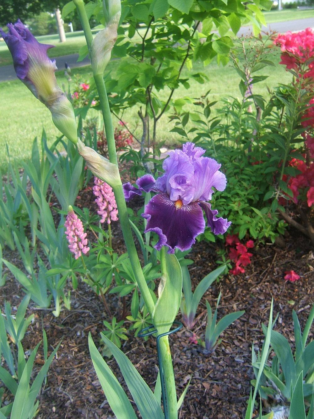 Photo of Tall Bearded Iris (Iris 'About Town') uploaded by pirl
