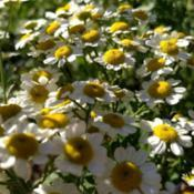 Location: IllinoisDate: 2018-06-06Feverfew is one of the most useful plants in my garden!