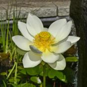 Location: Botanical Gardens of the State of Georgia...Athens, GaDate: 2018-06-07Lotus 015