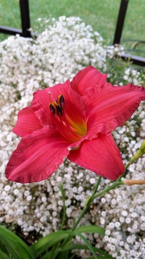 Photo of Daylily (Hemerocallis 'Gordon Biggs') uploaded by flowerpower35