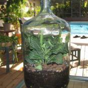 Location: Daytona Beach, FloridaDate: 2010-11-11Planted in a 5 gal glass water jug