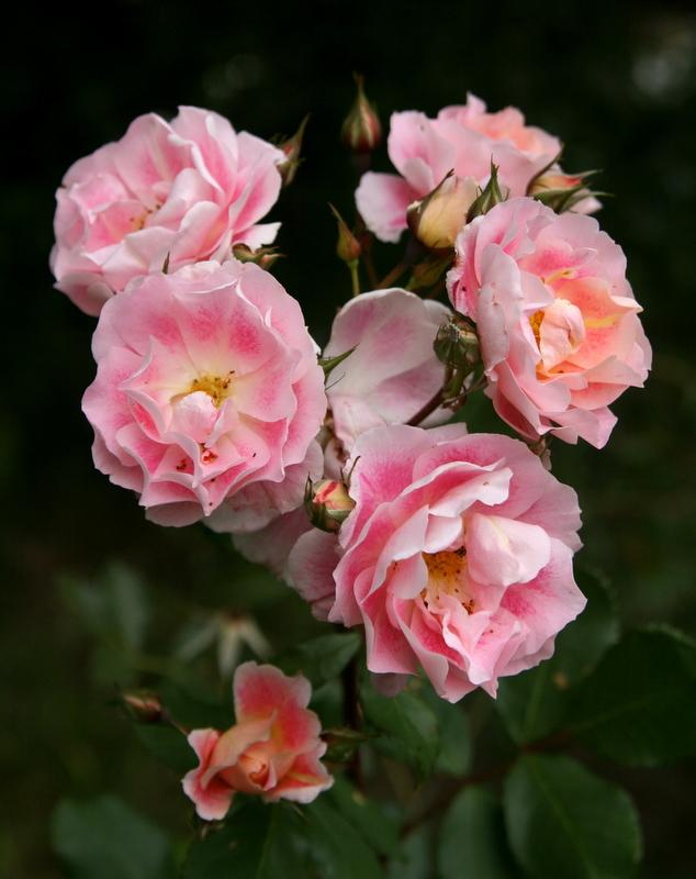 Photo of Rose (Rosa 'Cherries 'n' Cream') uploaded by Calif_Sue
