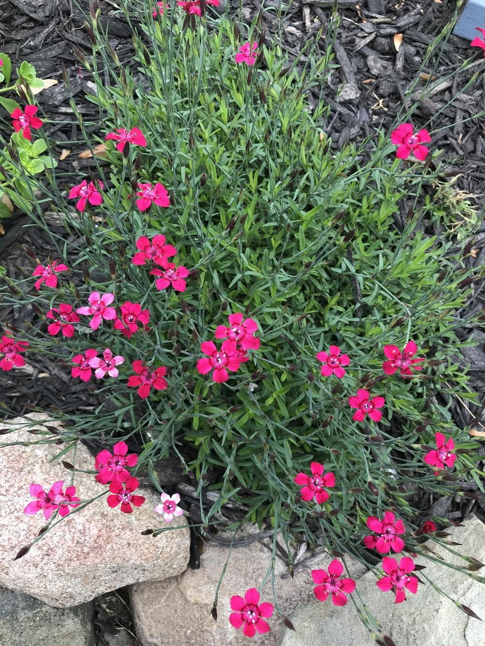 Photo of Dianthus uploaded by Michelezie
