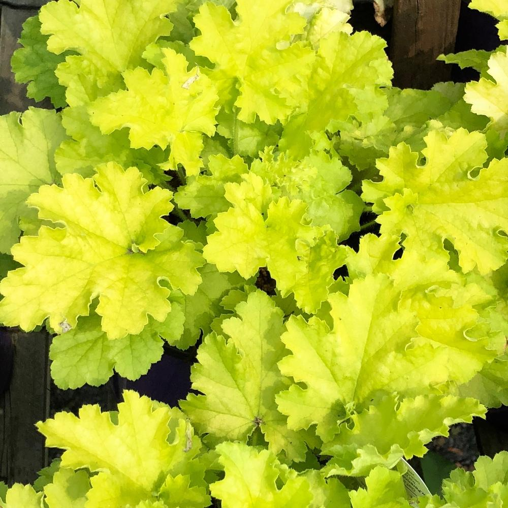 Photo of Coral Bells (Heuchera villosa 'Citronelle') uploaded by Njiris