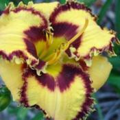 Photo Courtesy of Champion Daylilies. Used with Permission