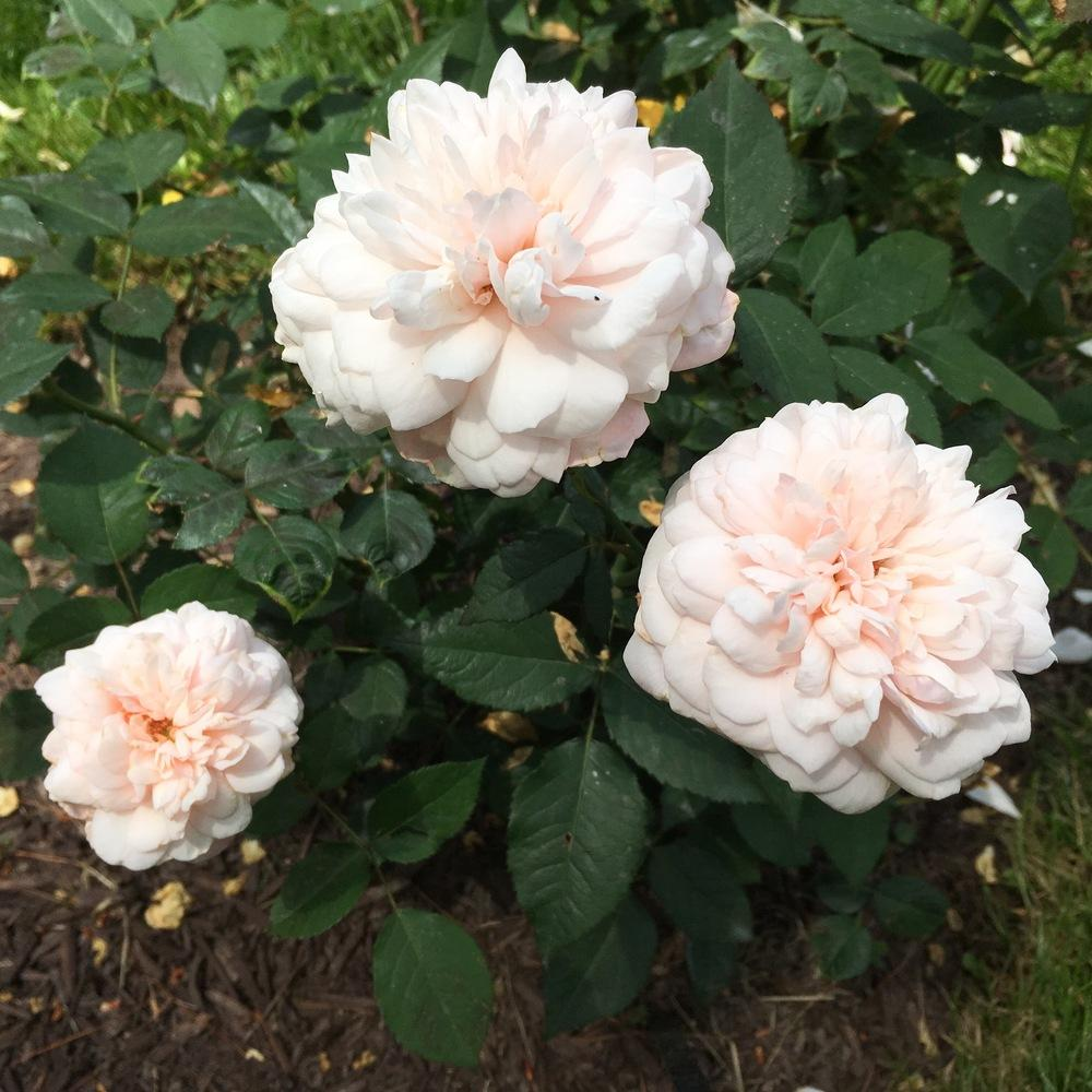 Photo of Rose (Rosa 'Gruss an Aachen') uploaded by csandt