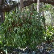 Location: Palm Coast, FL zone 9a-9bDate: 2018-05-09This is hanging in Washington Oaks State Park, Palm Coa
