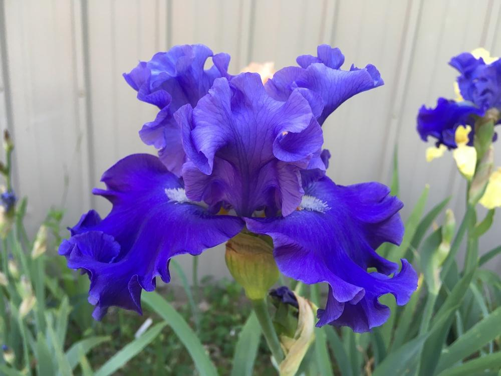 Photo of Tall Bearded Iris (Iris 'Adriatic Waves') uploaded by Lbsmitty