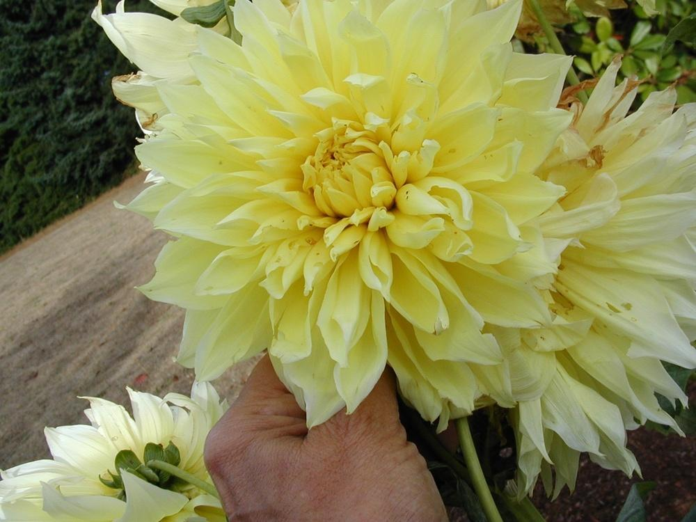 Photo of Dahlias (Dahlia) uploaded by bumplbea