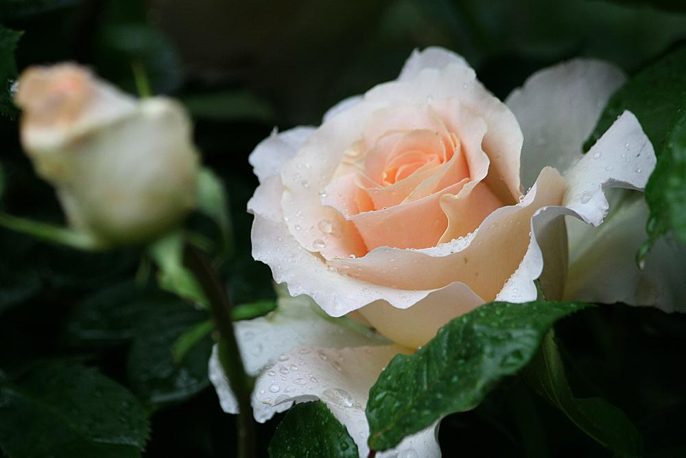 Photo of Rose (Rosa 'Commonwealth Glory') uploaded by mafioru