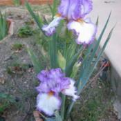 Location: San Diego, CADate: 2016-04-03bearded iris 'Swept Off My Feet' - a reblooming irises (potential