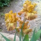 Location: San Diego, CADate: 2017-05-06as purchased at April 2017 iris show
