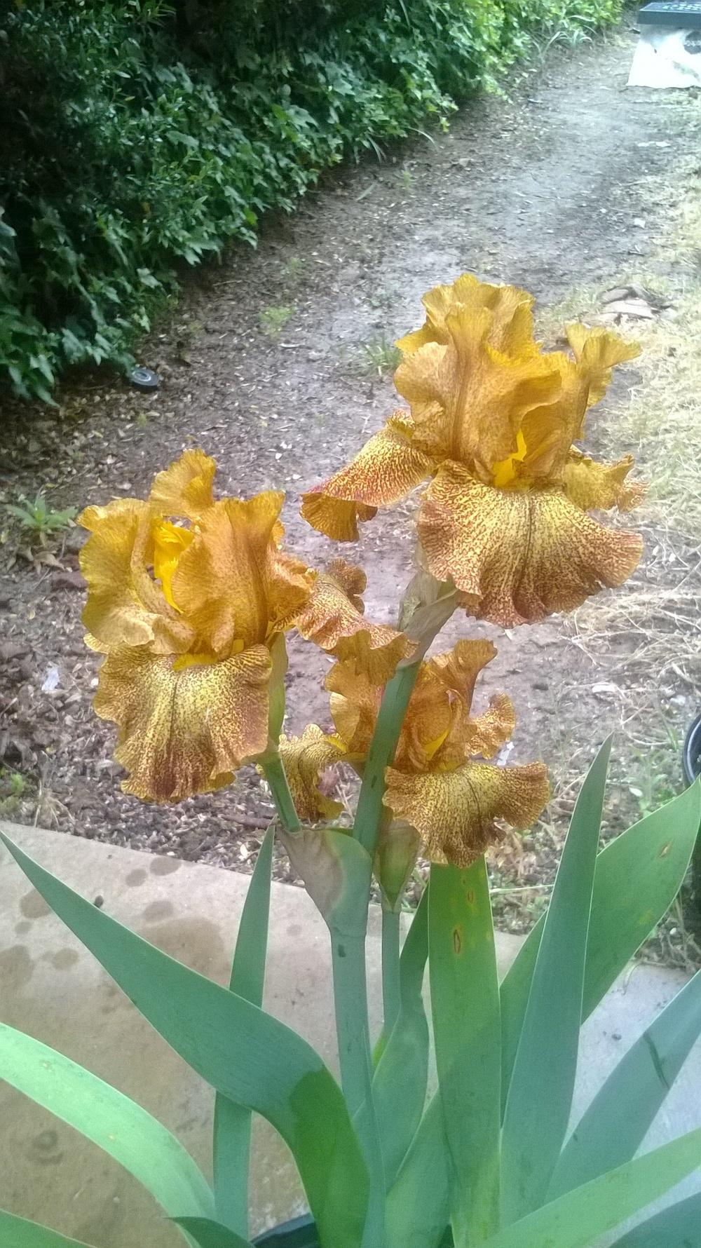 Photo of Tall Bearded Iris (Iris 'Camera Ready') uploaded by olga_batalov