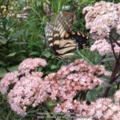 Location: North Carolina (Triad), USDate: 2013-08-28Butterfly is an eastern tiger swallowtail