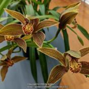 Location: Cymbidium Orchid Society of Victoria Meeting, Victoria, AustraliaDate: 2018-06-12