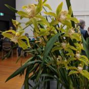 Location: Cymbidium Orchid Society of Victoria Meeting, Victoria, AustraliaDate: 2018-06-12Flower spike artificially staked upright. Normally the spike is a