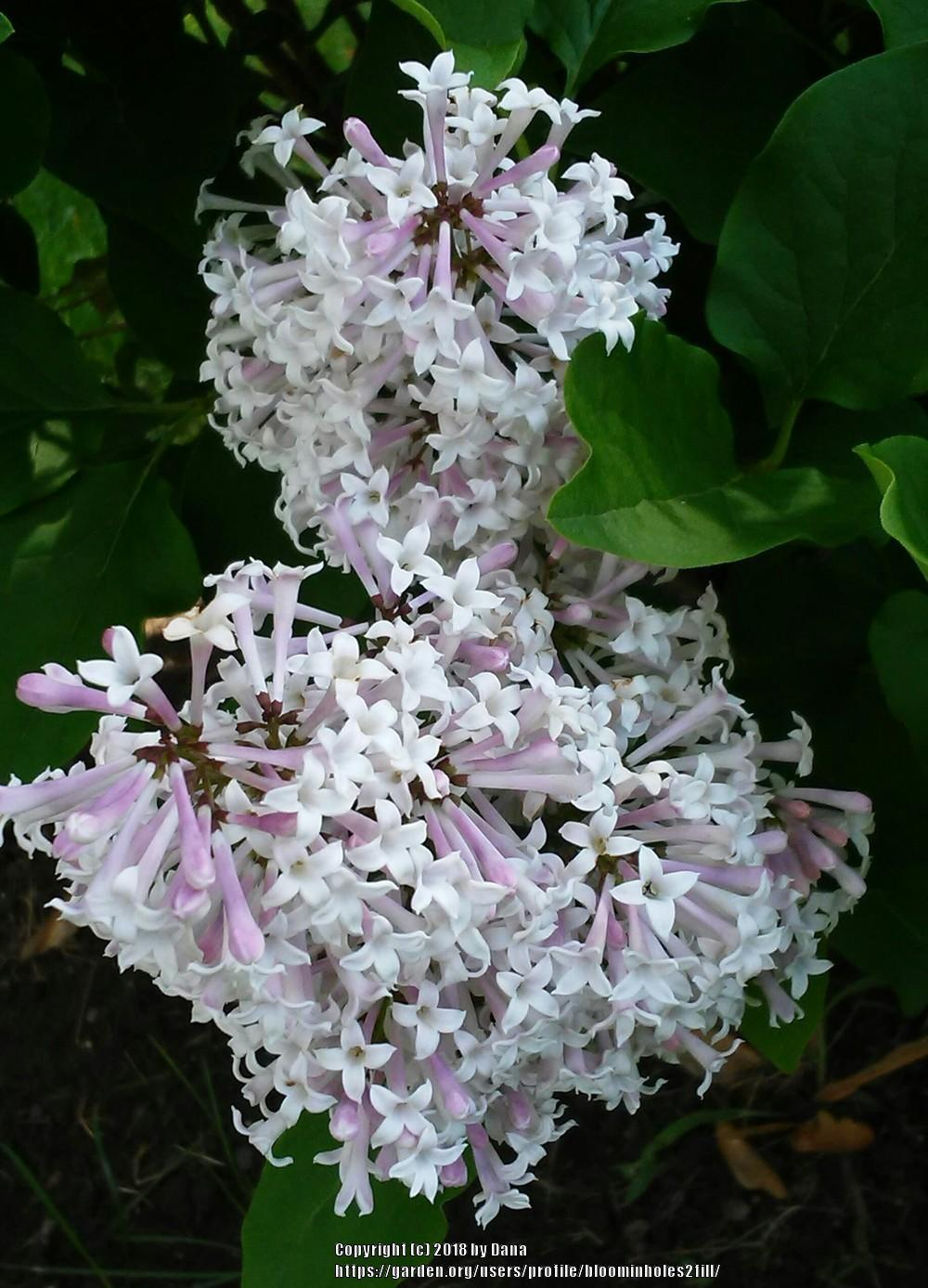Photo of Dwarf Lilac (Syringa 'Josee') uploaded by bloominholes2fill