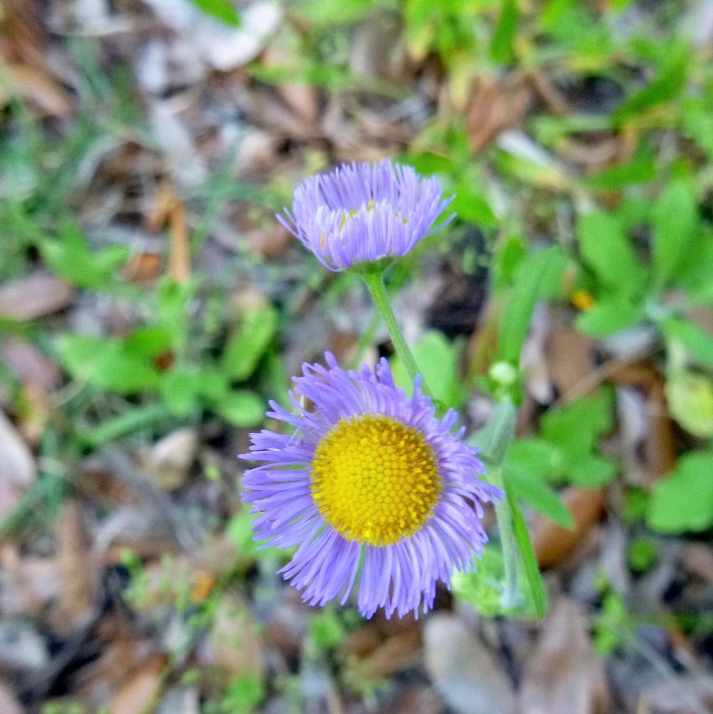 Photo of Oakleaf fleabane (Erigeron quercifolius) uploaded by scvirginia