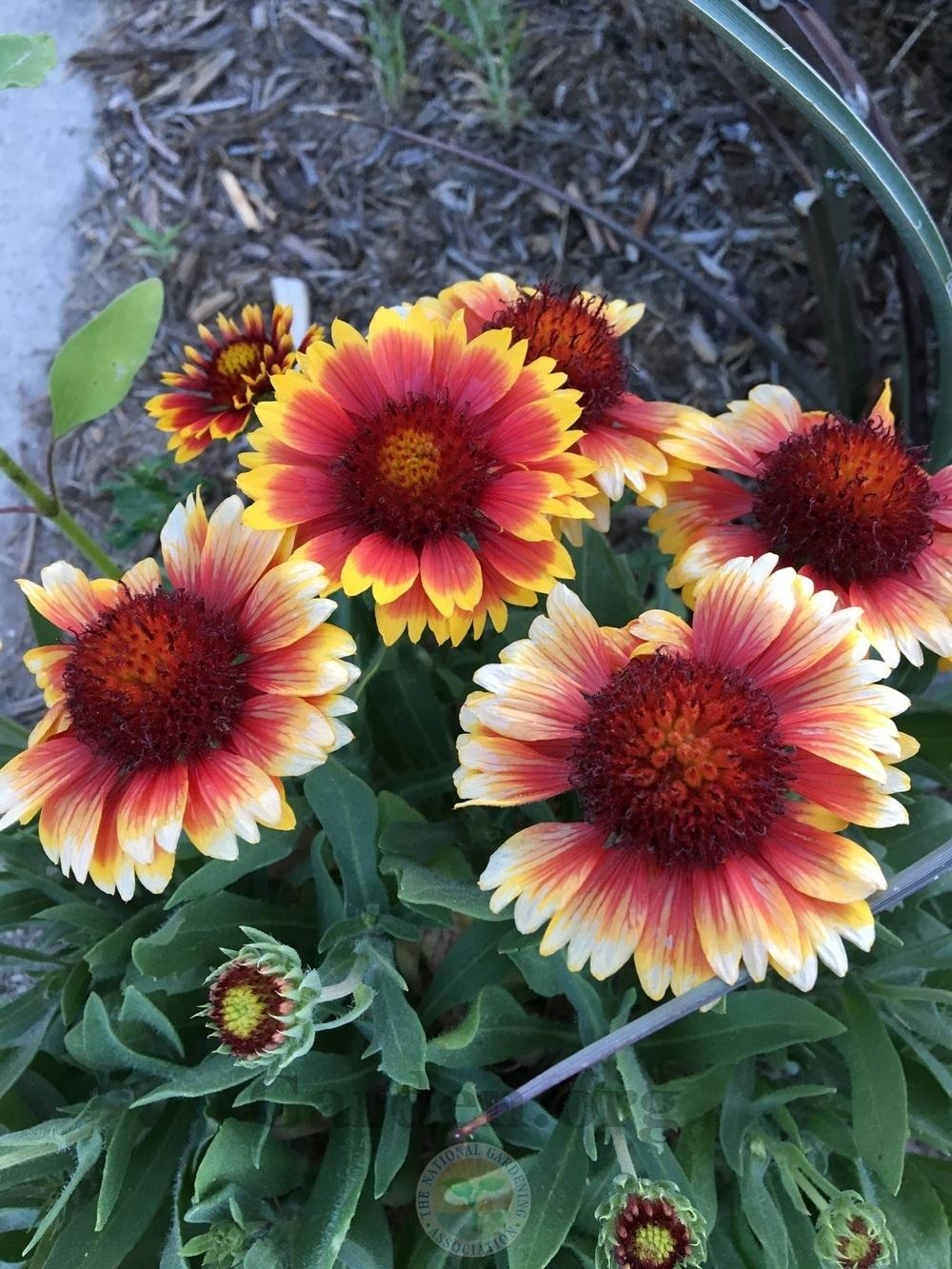 Blanket Flowers Plant Care And Collection Of Varieties Garden