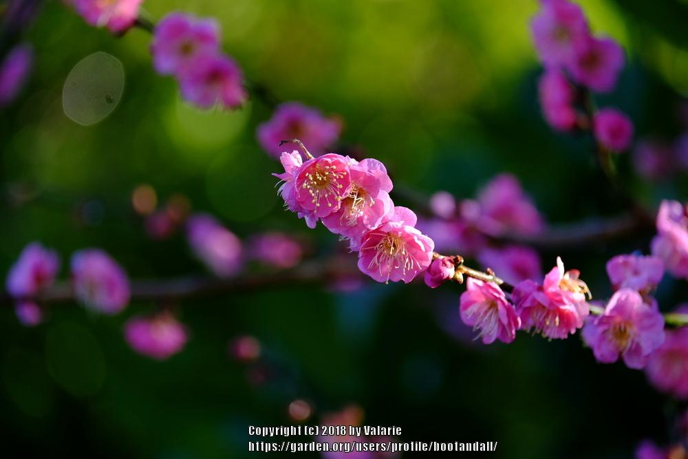 Photo of Japanese Apricot (Prunus mume 'Peggy Clarke') uploaded by bootandall