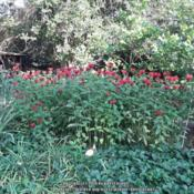 Location: Middle TNDate: June 14,  2018A star in the garden. Spreads pleasantly for me. Not a