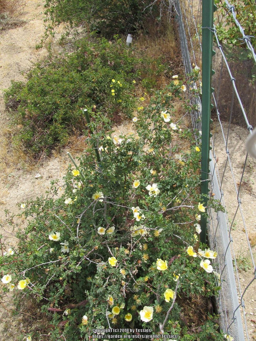 Photo of Rose (Rosa alabukensis) uploaded by Tessies