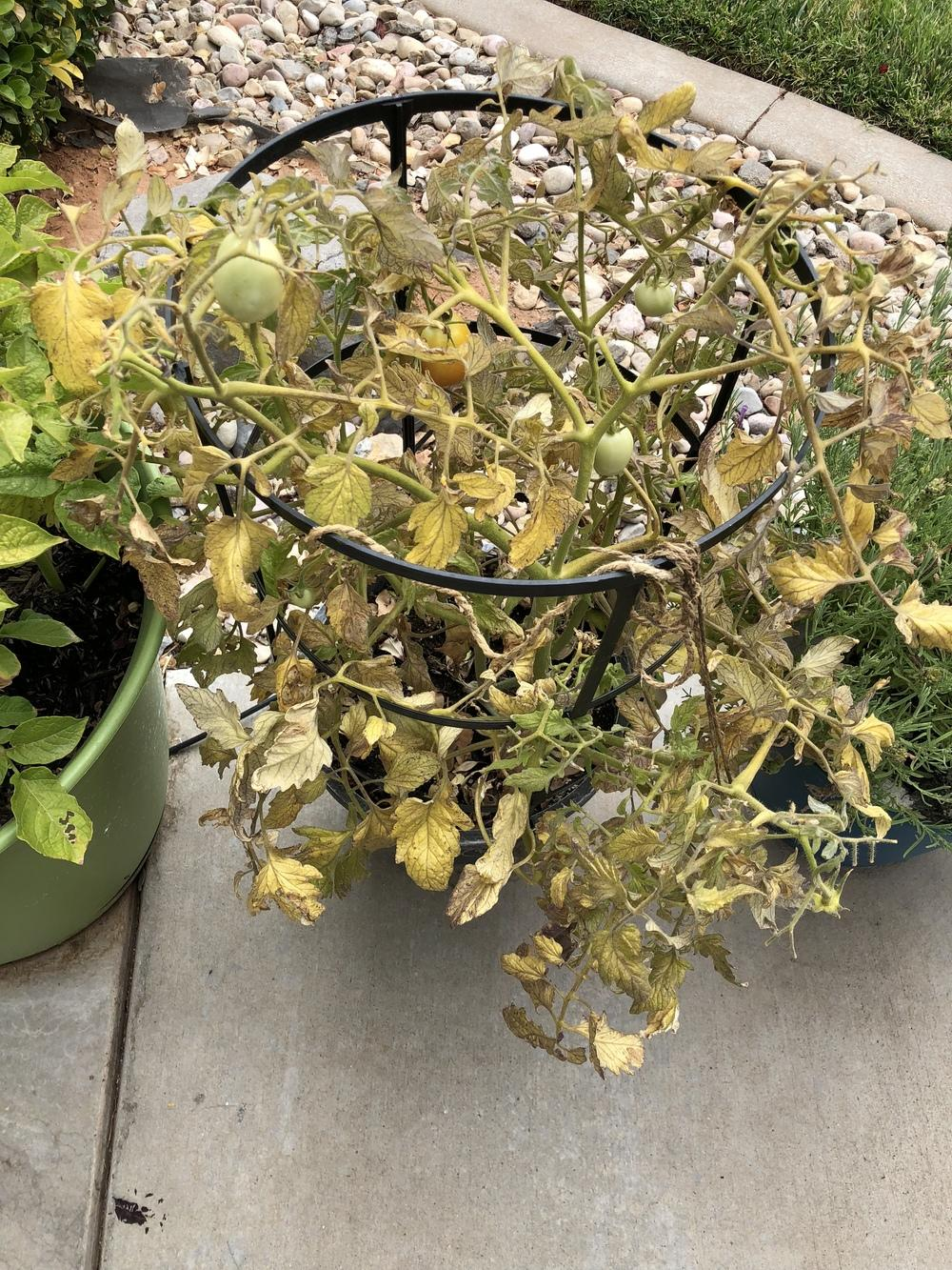Vegetables and Fruit forum: My tomato plant is seriously sick ...