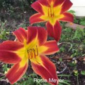 Location: My garden near Victoria, Tx. Date: 2018-06-16Who could not love this daylily?  It blooms repeatedly and produc