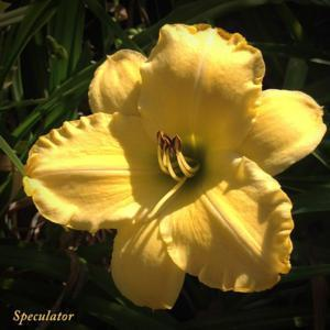 Very nice garden flower, opens well in cool-climates.