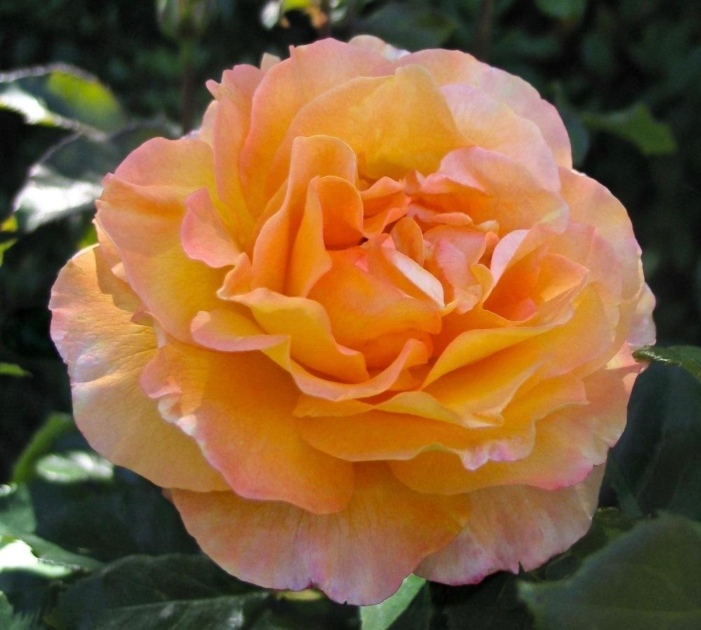 Photo of Rose (Rosa 'Adolf Horstmann') uploaded by Mossy44