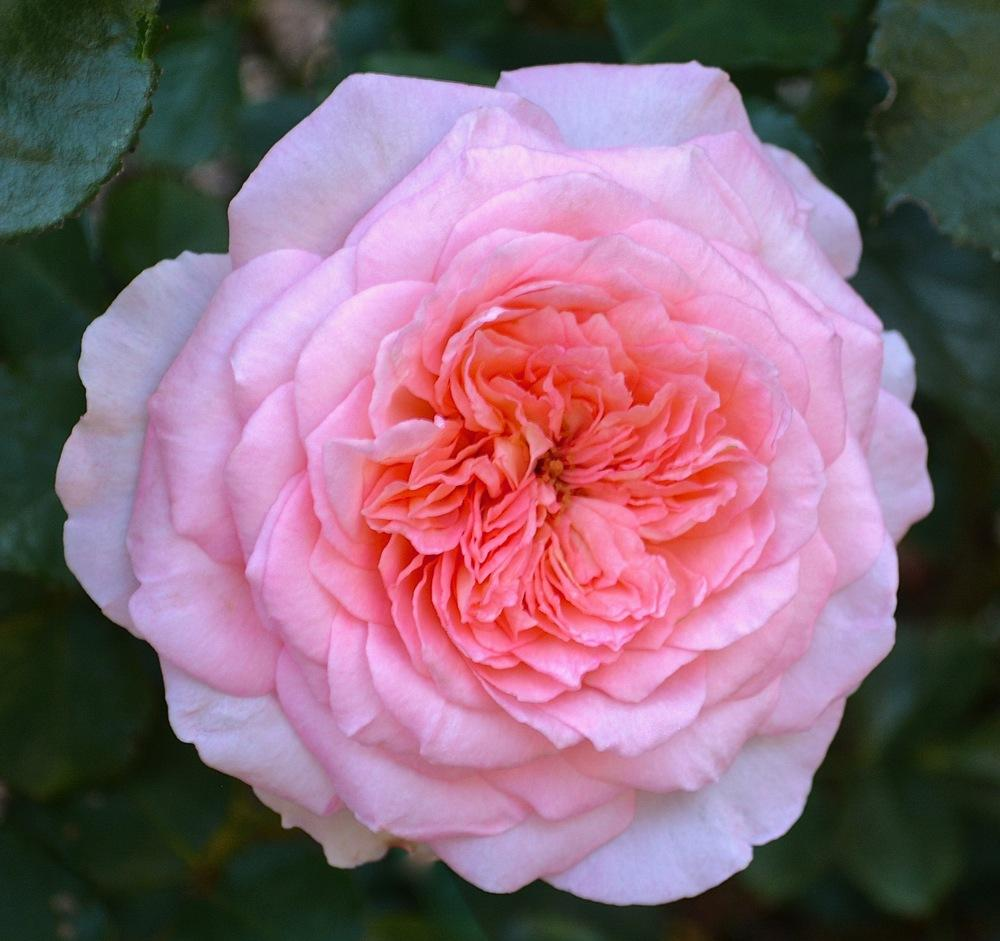 Photo of Rose (Rosa 'Savannah') uploaded by Mossy44